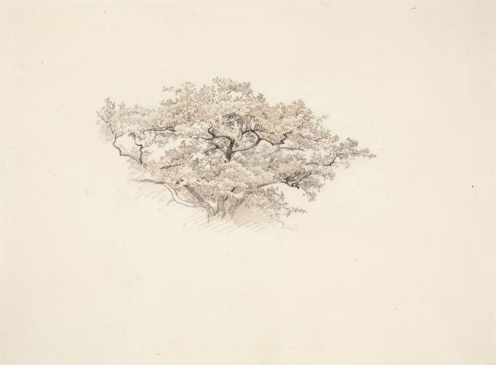 Lehtipuun latva