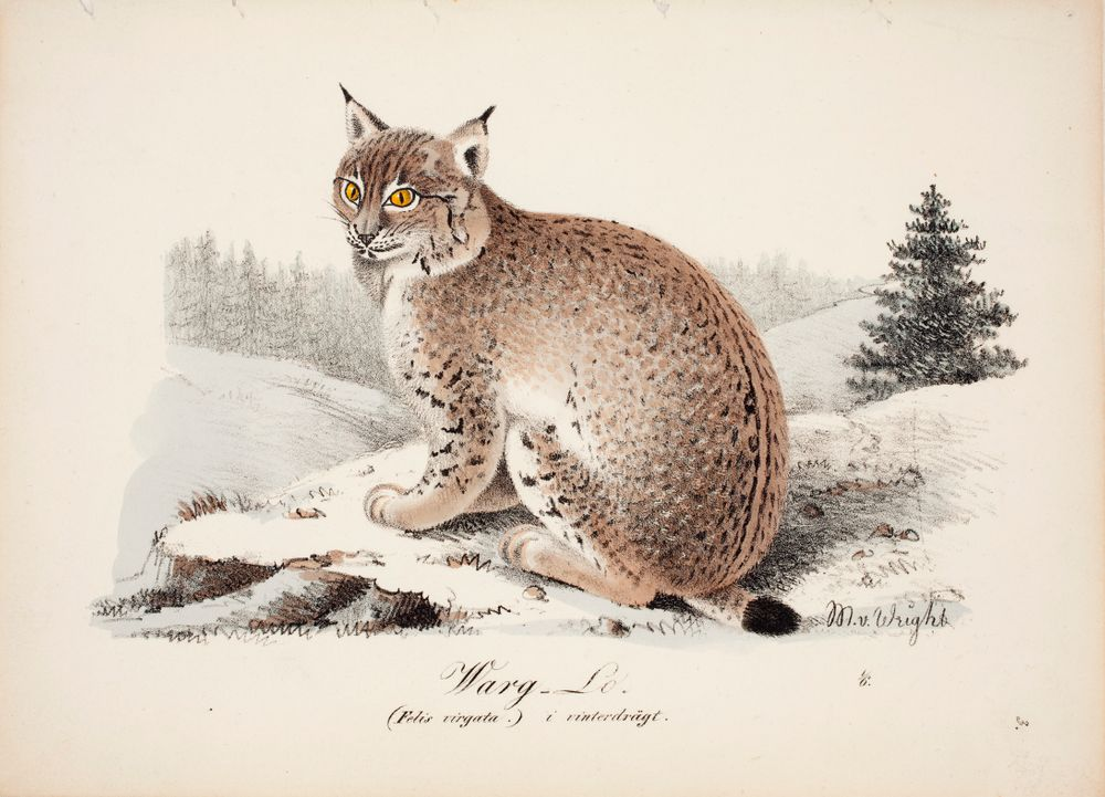 Wolf-Coloured Lynx in Winter Coat