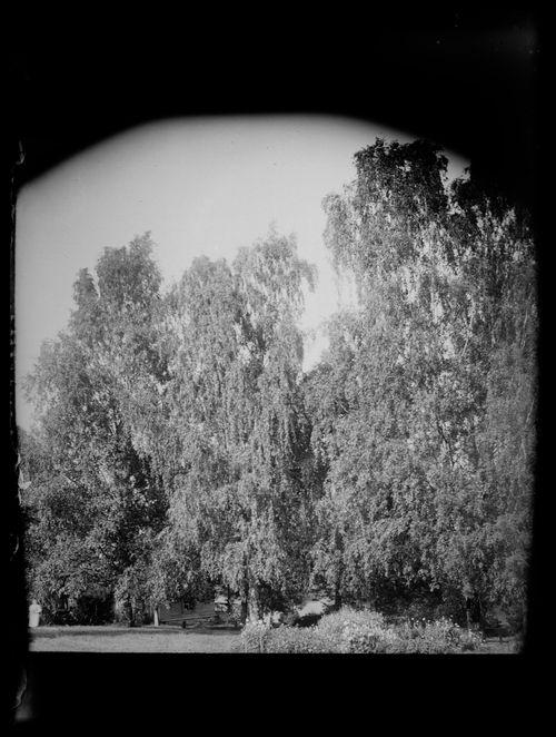 Koivuja Niemenlautalla, taustalla Valkoinen huvila