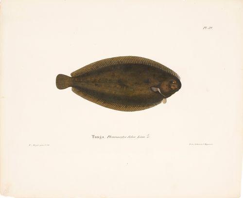 Meriantura (kielikampela)