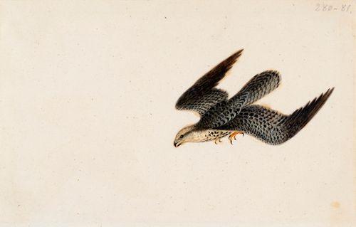 Lentävä varpushaukka