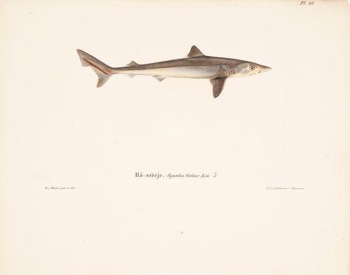Harmaahai