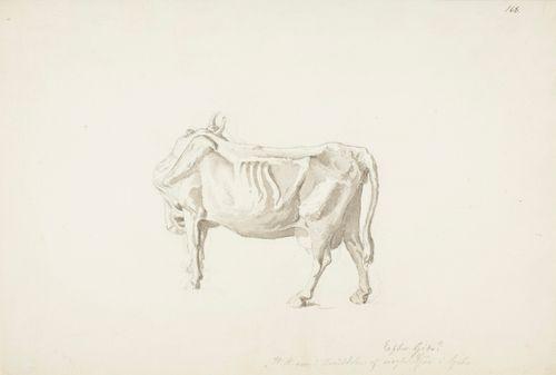 Sivukuva lehmästä, pää kääntynyt pois näkyvistä