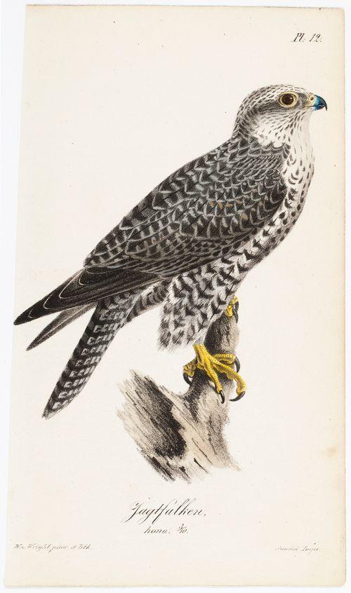 Jaktfalken, hona, Tidskrift för jägare och naturforskare -lehden kuvitusta