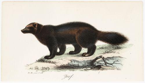 Ahma, Tidskrift för jägare och naturforskare -lehden (nro 8/1832) kuvitusta
