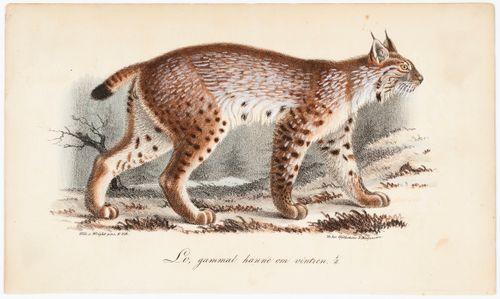 Ilves, vanha uros talviasussa, Tidskrift för jägare och naturforskare -lehden (nro 1/1834, s. 771) kuvitusta