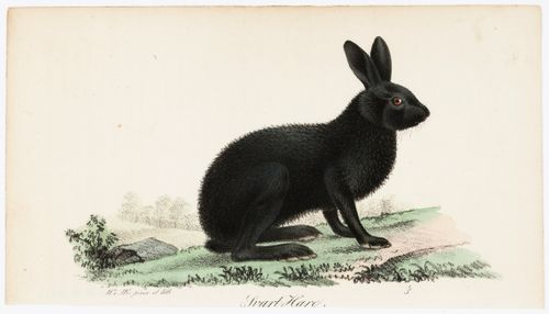Musta jänis, Tidskrift för jägare och naturforskare -lehden (nro 5-6/1832) kuvitusta
