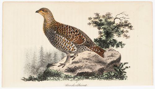 Korpimetso, Tidskrift för jägare och naturforskare -lehden (nro 1/1832) kuvitusta