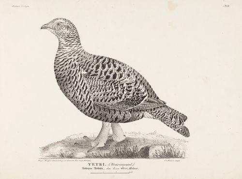 Teeri, naaras, kesken jääneestä sarjasta Suomen Lintuja, nro 2,  1827