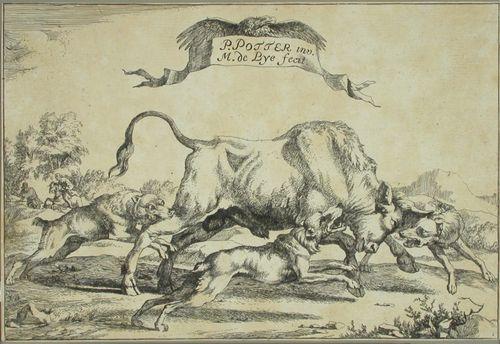 Kolme metsästyskoiraa ahdistamassa härkää