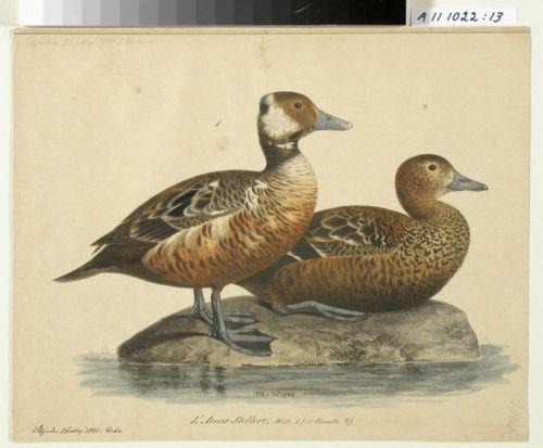 Steller's Eider, male and female